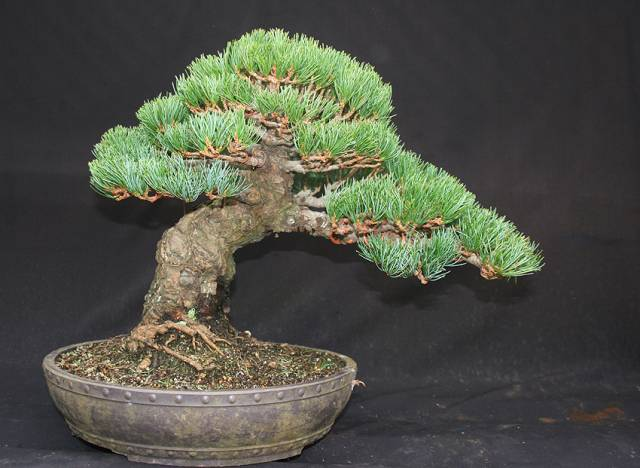cornwall bonsai society co uk rh cornwall bonsai society co uk